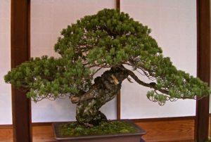 Sandai-Shogun-No Matsu bonsai