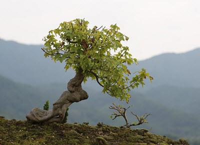 bonsai tree outdoors