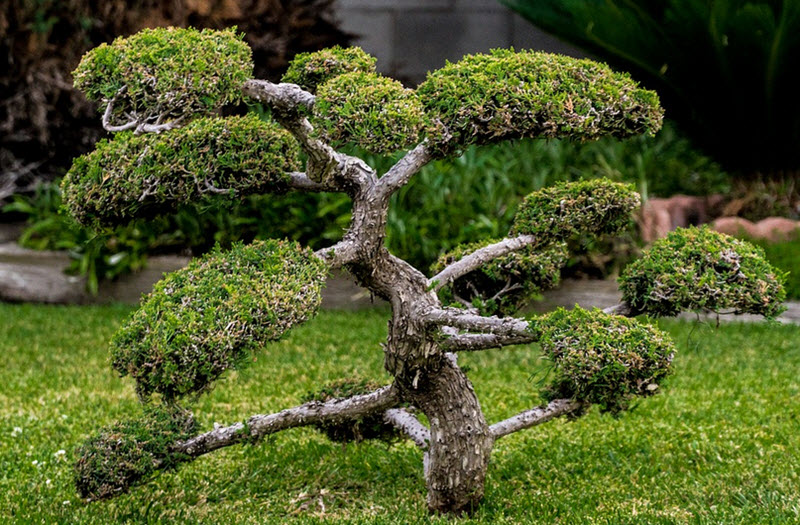 bonsai tree 2