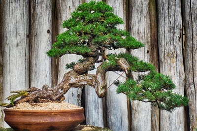 bonsai trunk direction